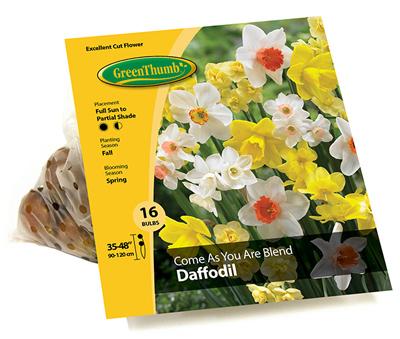 GT 16CT Daffodil Bulb