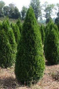 4320621 Arborvitae Emerald