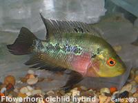 Flowerhorn Cichlid - SMALL