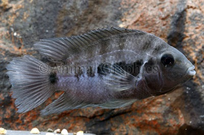 Striped Convict Cichlid