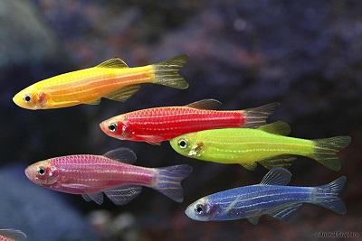 Fluorescent Zebra GloFish