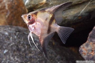 Assorted Select Angelfish