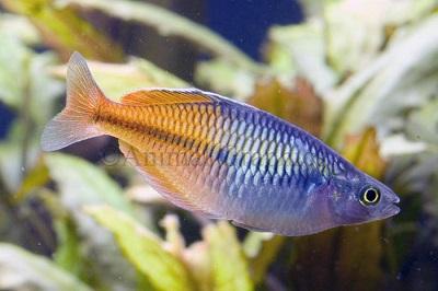 Boesmani Rainbowfish