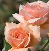 ROSE APRICOT CANDY 3 GAL