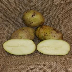 1 lb Kennebec Certified Seed Potato