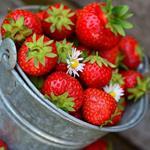 Quinalt Strawberry Plant (1EA)